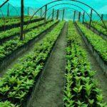 Más de 57 mil plantones y mil productores se beneficiarán con Proyecto Palta